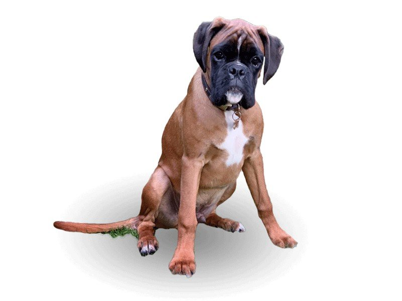 Bruno The Buy to Let Boxer